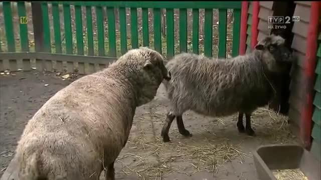 Dubbing zwierząt - rewelacja!