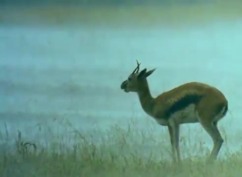 Encyklopedia zwierząt dla dzieci - Gazela