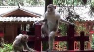 Park Narodowy w Zhangjiajie to istny małpi raj.