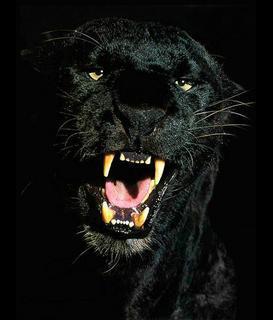 Puma Cougar (Śląsk)
